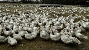 France's agricultural ministry has already culled more than 200,000 ducks since 1 January, during which time 124 flu outbreaks were recorded.