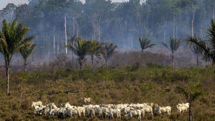 In this file photo taken on August 25, 2019 cattle graze with a burnt area in the background after a fire in the Amazon rainforest near Novo Progresso, Para state, Brazil