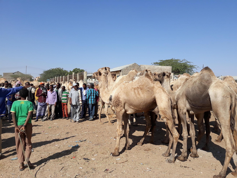 Le marché au bétail d'Hargeisa.