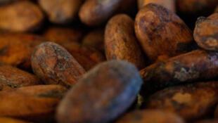 Le gouvernement camerounais veut encourager la production de cacao.