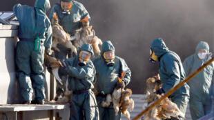 Des canards sur le point d'être abattus à Latrille, dans les Landes, le 6 janvier 2017.
