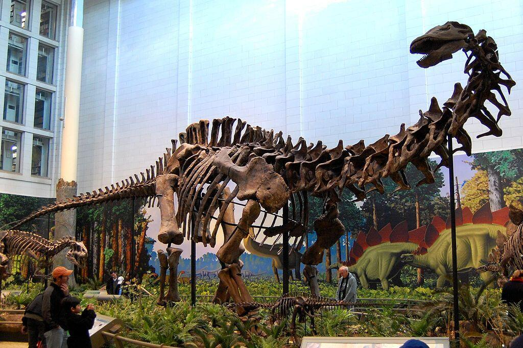 The fossilised skeleton of a sauropoda in the US's Carnegie Museum