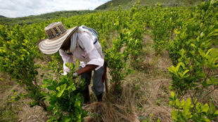 A farmer cleans a coca crop in Cauca, Colombia.