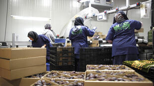 La direction palestinienne a longtemps combattu pour obtenir un étiquetage des produits des colonies et cette position bahreïnienne est un nouveau désaveu pour elle. Ici, des travailleuses palestiniennes employées dans un atelier de dattes à Netiv HaGdud, une colonie agricole de Cisjordanie.