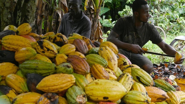 Les négociants de cacao ivoiriens dénoncent la concurrence des multinationales