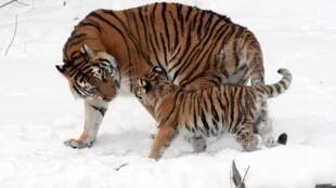 Tigres siberianos estão ameaçados de extinção. Segundo especialistas, existem apenas 250 animais da espécie.