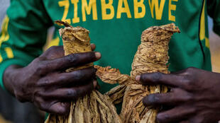 A farmer presents his product at the Tobacco Sales Floor in Harare, 15 March 2018