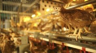 Un élevage de poulets en Bretagne.