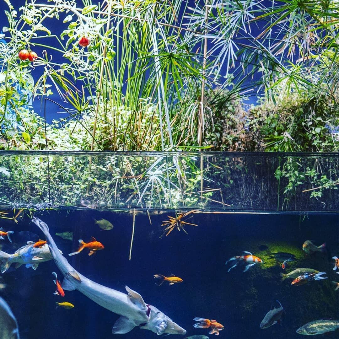 Peceras en el Aquarium de París y hortalizas cultivadas gracias a la acuaponía.