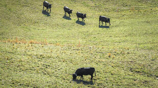 La vache d'Hérens est vue dans un champ par une chaude journée d'automne le 18 octobre 2017 près de Cries, dans les Alpes suisses.