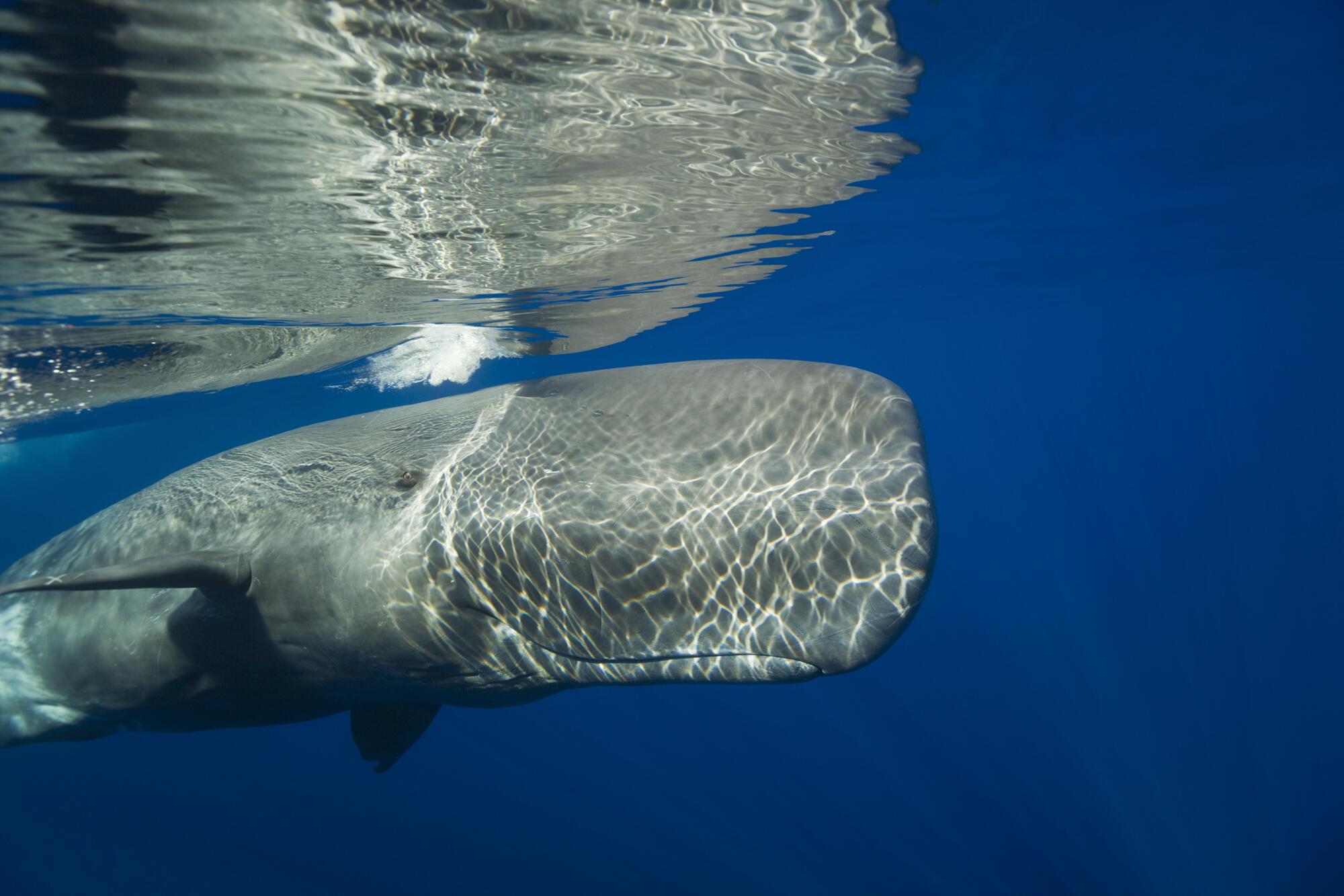 Un grand cachalot dans l'océan Atlantique, près de l'archipel des Açores.
