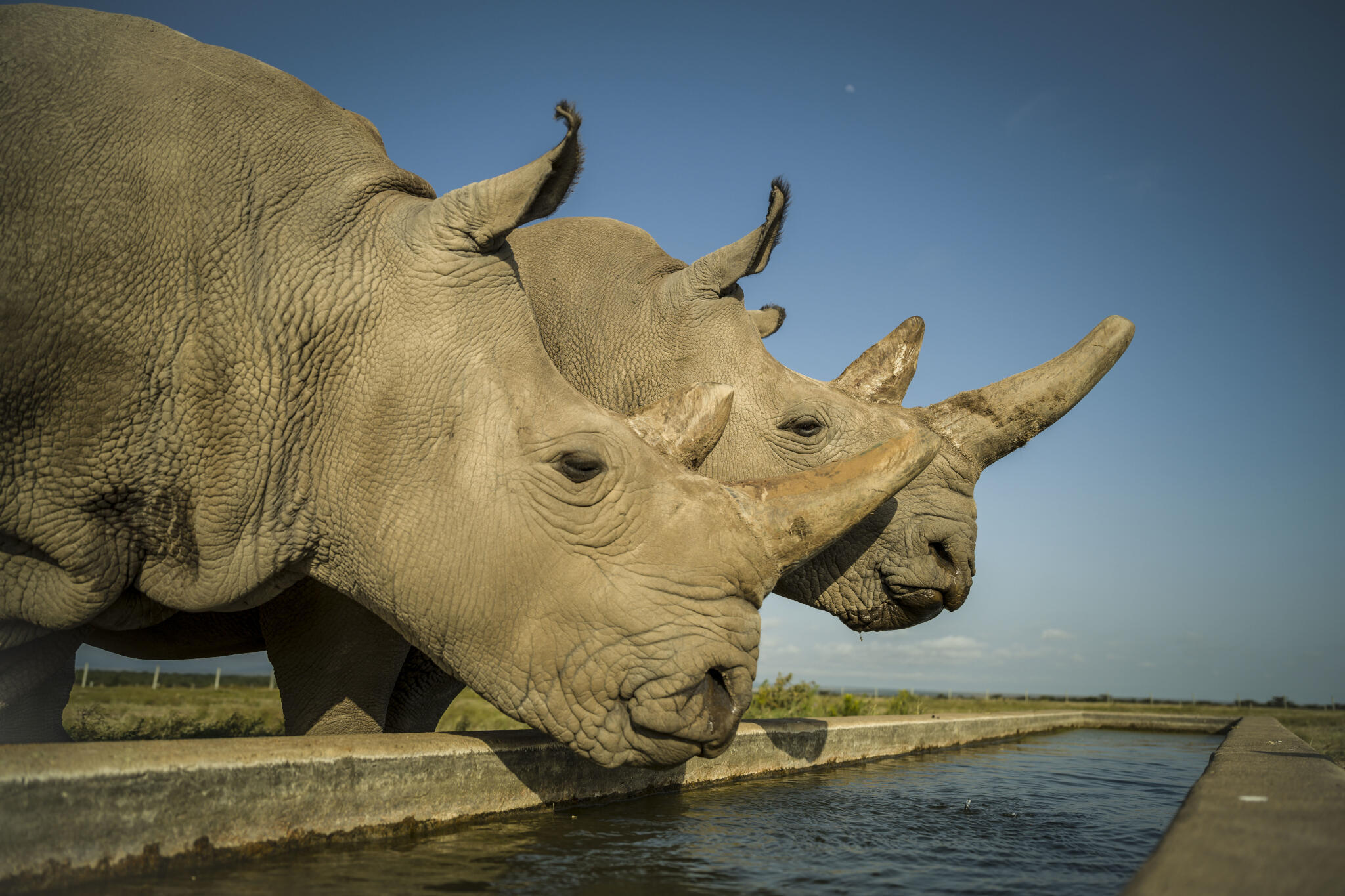 Najin (L) and Fatu (R) are the last two northen white rhinos in the world. The two female rhinos at the Ol Pejeta conservancy in Kenya.