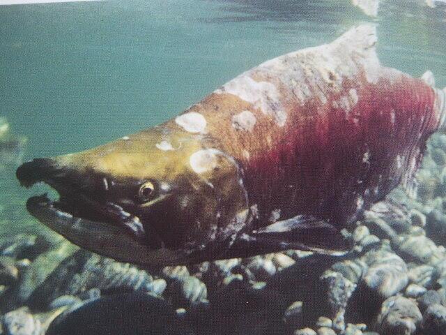 挪威海灣海 人工密集養殖三文魚