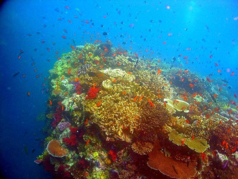 """Cộng sinh giữa sản hô, tảo và các sinh vật phù du : Tuyệt tác của thiên nhiên, giúp cho đại dương trở thành """"chiếc giếng hút carbone"""" Trong ảnh, một rạn san hô tại quần đảo Fidji. (Ảnh Wikipedia)"""