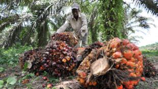 Un ouvrier récolte des fruits de palme fraîchement coupés pour la fabrication d'huile de palme dans une plantation gérée par un centre de recherche sur l'huile de palme en Côte d'Ivoire, à Alame, près d'Abidjan, le 5 juin 2013.