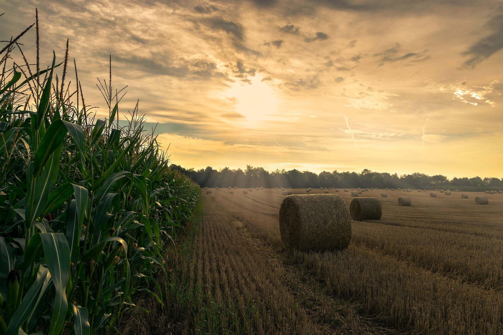 harvest-4195417_1920 céréales maïs paille blé champ culture agriculture campagne nature