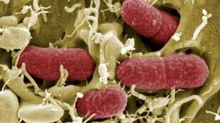 Escherichia coli est une des bactéries qui composent la flore intestinale humain (microbiote).