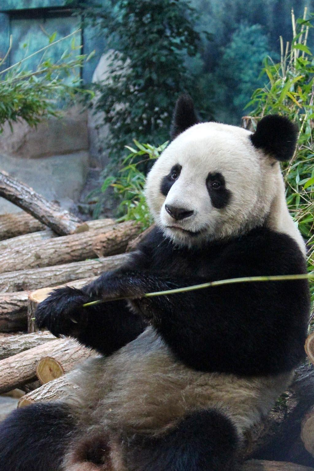 O panda macho Yuan Zi não quer saber de companhia.