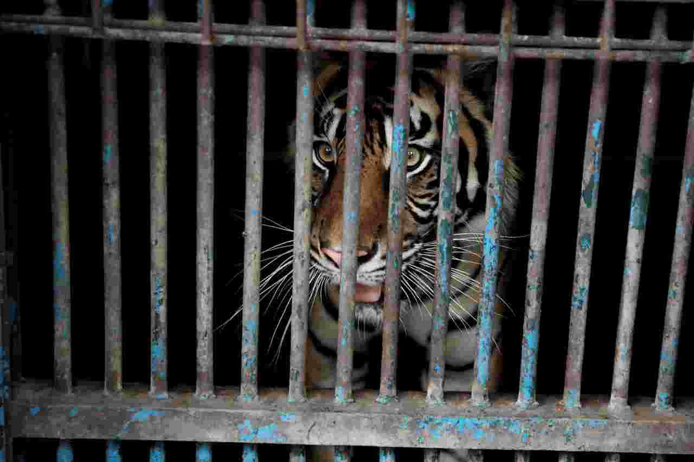 Un tigre dio positivo por coronavirus en el parque zoológico de Ragunan, en Yakarta, el 1 de agosto de 2021. Foto tomada por el gobierno de Yakarta