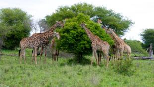 Des girafes, dans le parc national du Kruger en Afrique du Sud.