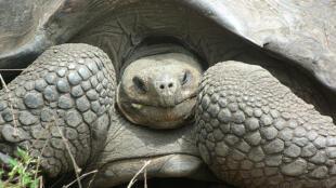 As tartarugas gigantes de Galápagos já eram descritas pelo cientista britânico Charles Darwin no século 19.
