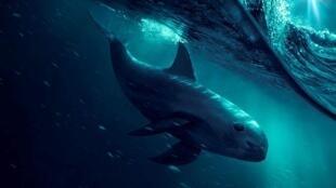 La vaquita marina.