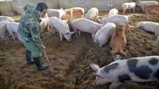 非洲猪瘟在中国已有5起疫情,中国农业农村部发言人广德福表示,从全球范围看,非洲猪瘟在中国周边国家已呈大规模流行态势 9月2日