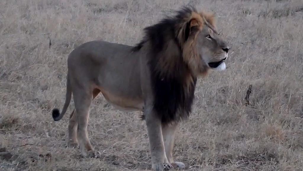 O leão Cecil tinha 13 anos e se destacava por sua juba preta incomum.