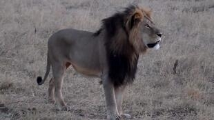 'Cecil the lion' was about 13-years-old and had a distinctive black mane.