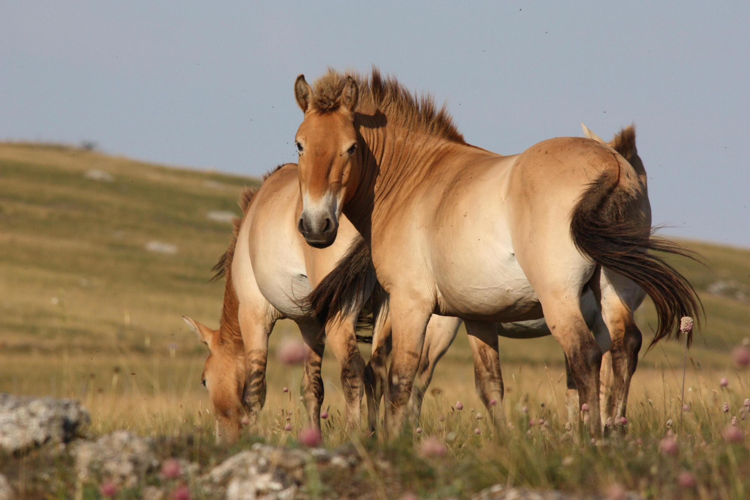 Przewalski or Takhi horses on the Causse Méjean plateau in the southern Cevennes region in France. Here stallion Lou Ravi with the distinctive raised mane and stripes across its legs.