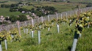 Le vin anglais a de plus en plus de succès. (Photo: vignes de Holmfirth, en Angleterre).