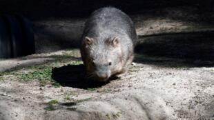 Un wombat photographié dans un complexe animalier à Sydney en Australie le 10 mai 2018.