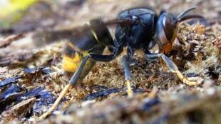 A vespa-asiática (nome científico: Vespa velutina) em Limoge no sudoeste da França. 2 de novembro de 2010