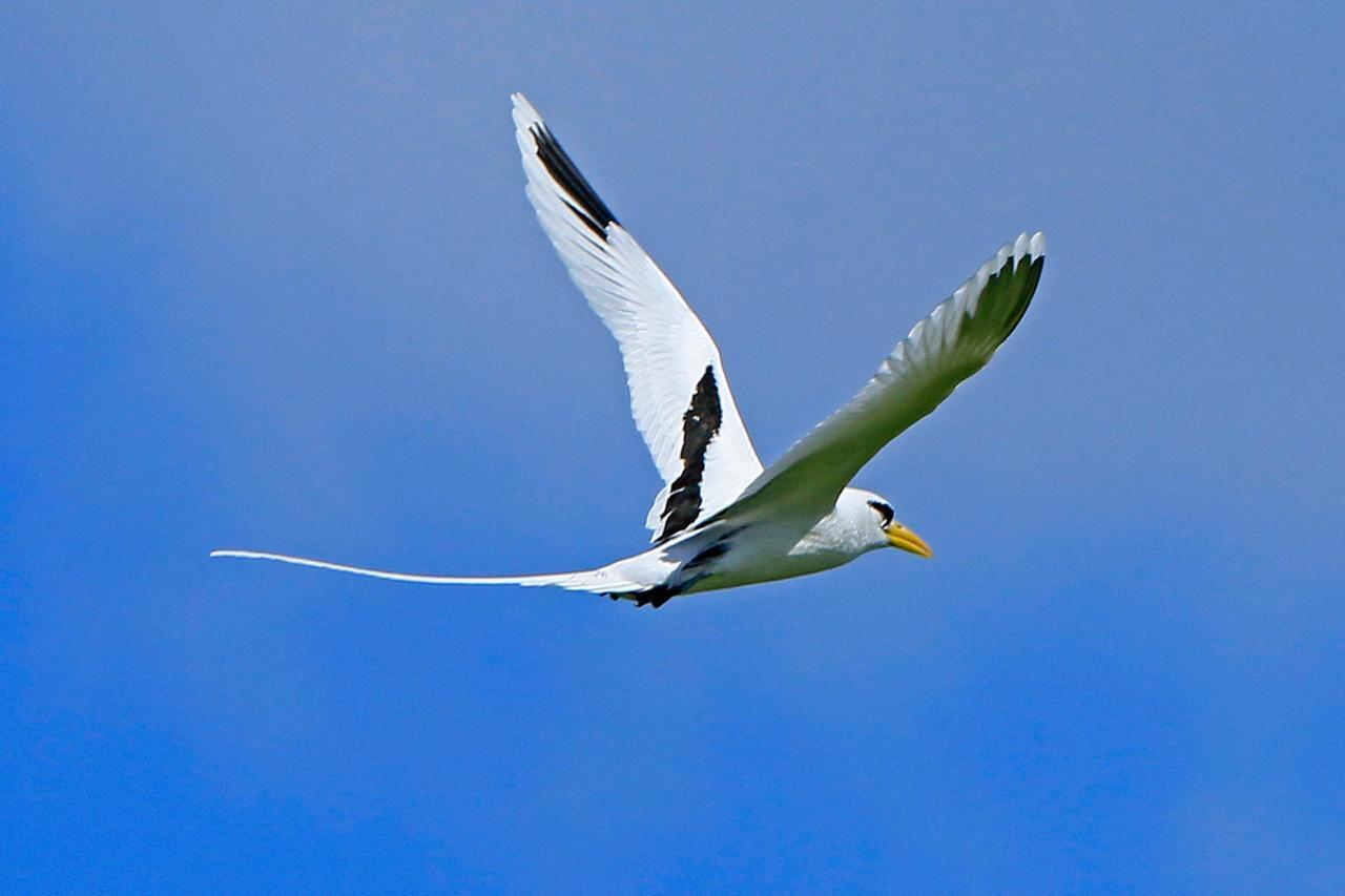 The south-eastern islets of Mauritius are the nesting place of seabirds, such as the paille-en-queue or white-tailed tropicbird.