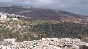 Un champ d'oliviers autour de la petite ville de Taybeh, au nord-est de Ramallah, en Cisjordanie.