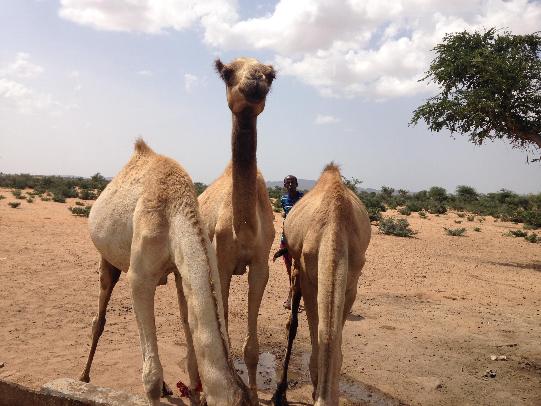 Rakuma a yankin Sahel