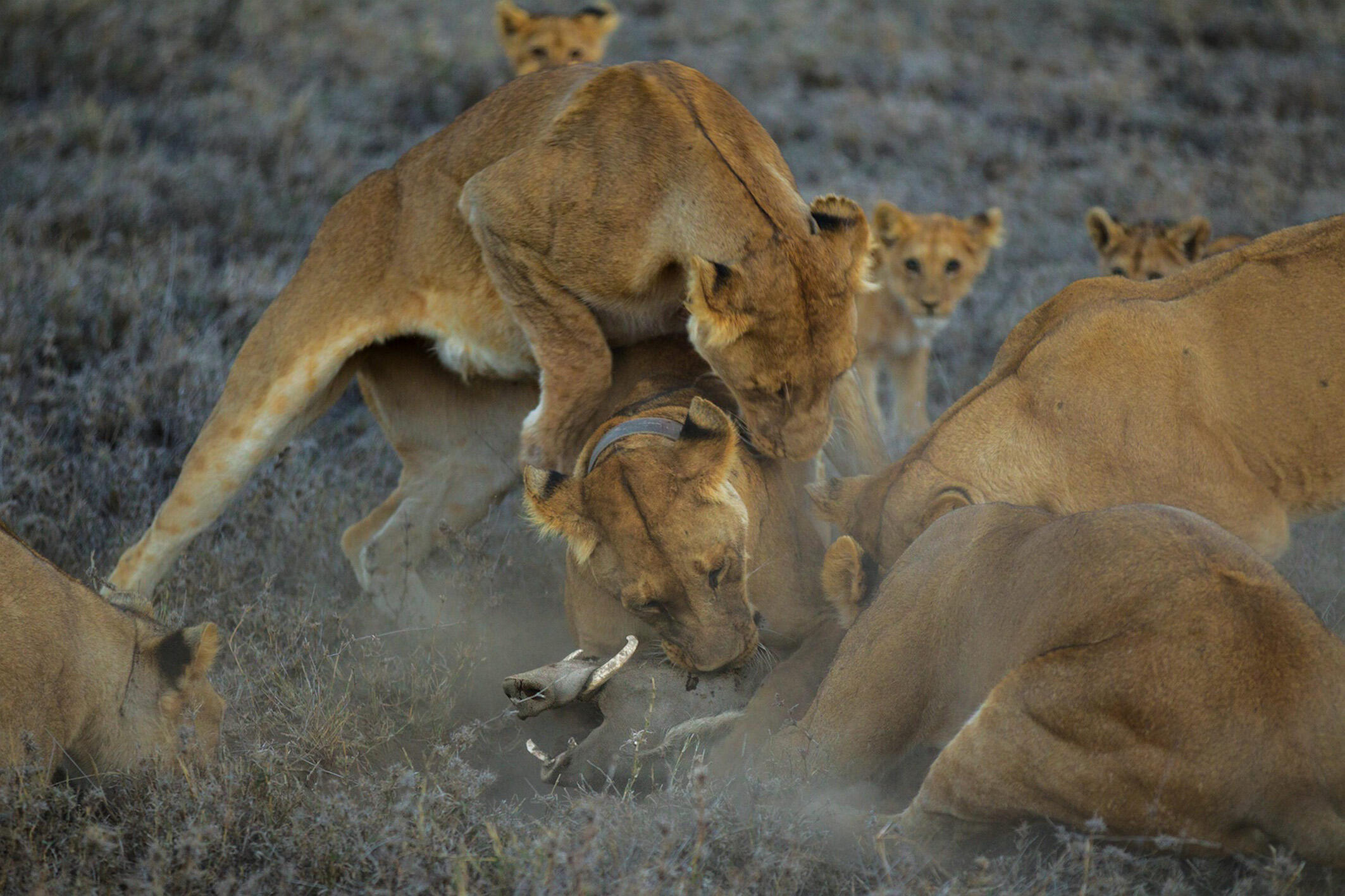 Chasse au phacochère par le groupe Vumbi, mené par une lionne portant un collier. Parc national du Serengeti, Tanzanie, 2011.