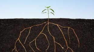 Les biofertilisants permettent aux plantes de mieux capter les ressources du sol.