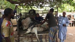 Le marché à bétail de Savè, le plus gros du département des Collines.