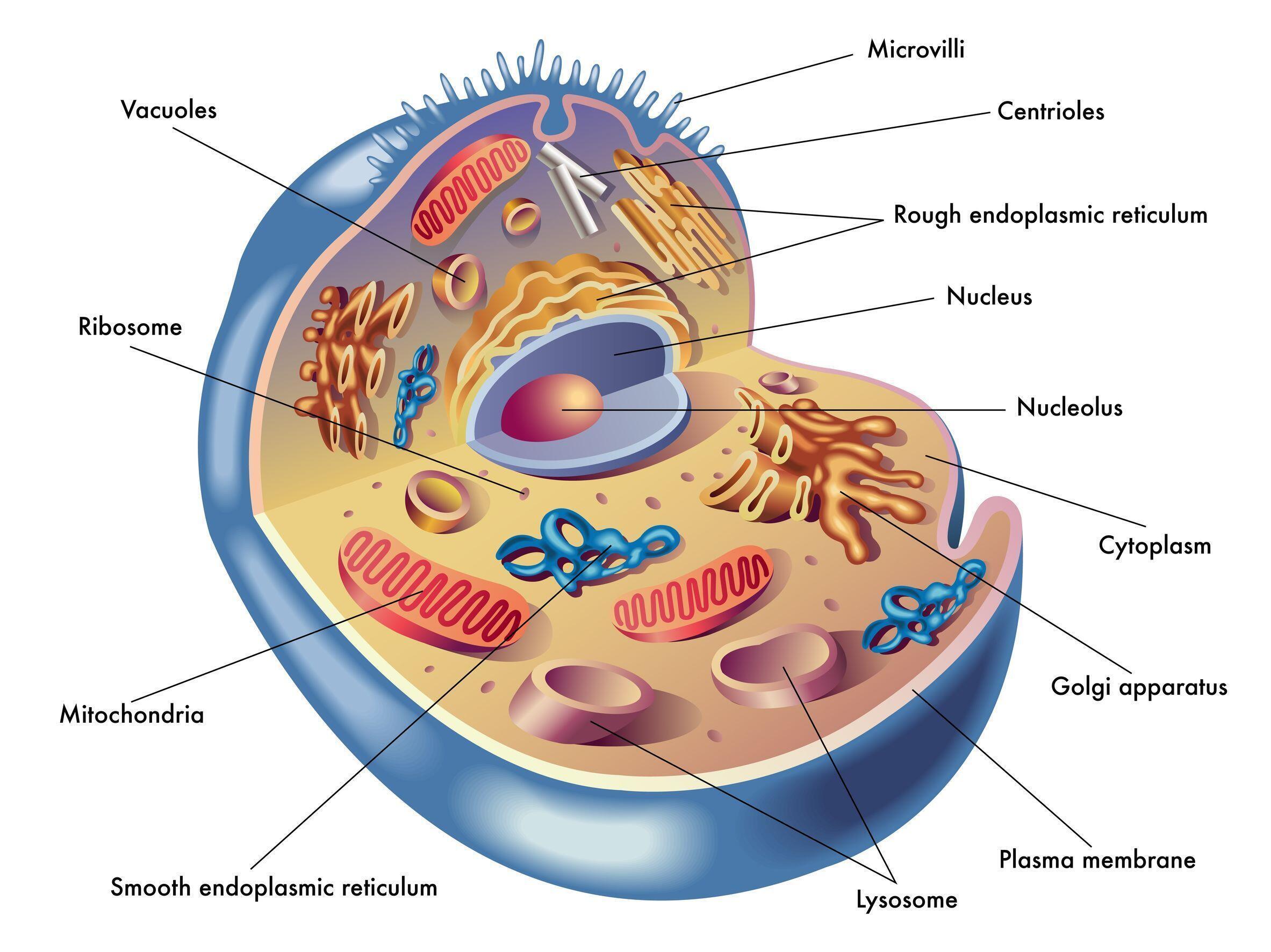 Una célula eucariota y sus componentes. En ella se pueden observar las mitocondrias en forma de cápsulas alargadas.