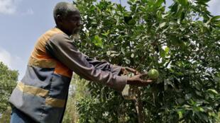 Un producteur sénégalais inspecte ses cultures de poivrons et de citrons, à Mboro, le 13 août 2019.