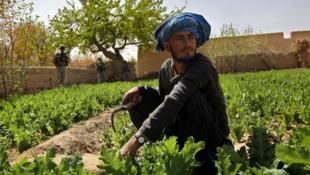 Un paysan cultive du pavot à opium, à Howz-e-Madad, dans la province de Kandahar.