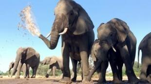 博茨瓦纳90头大象惨死     2018年9月