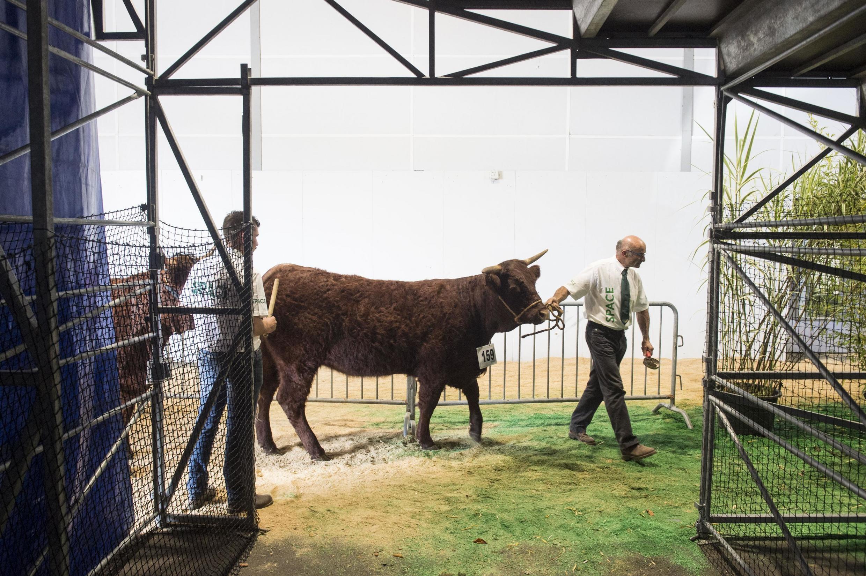 Un éleveur présente ses bovins au Space à Rennes, le 10 septembre 2019.