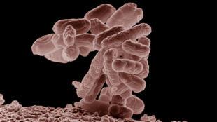A bactéria Escherichia coli enterohémorragique (Eceh) responsável pela morte de 38 pessoas.