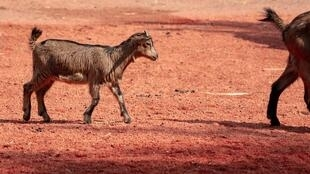 Chèvre - Afrique - goat-3403826