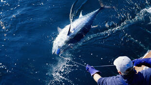 Un pêcheur remontant un thon rouge.
