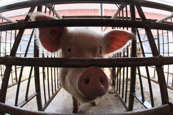 Pour Emma Naluyima, «les porcs sont naturellement un bon business».