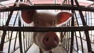 La filière porcine française espère accroître sa présence en Chine.