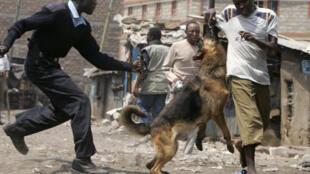 A Kenyan riot police dog baits a suspected Mungiki gang member at Nairobi's Mathare slums